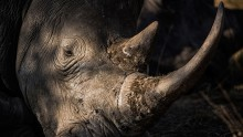 Police authorities nabbed a Chinese man at a South African airport for illegally acqiring Rhino horns.