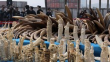 CHINA-ENVIRONMENT-WILDLIFE-IVORY