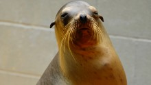 Scientists studied 30 California sea lions undergoing veterinary care and rehabilitation at The Marine Mammal Center in Sausalito.